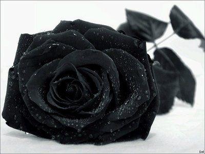 schöne schwarze rosen bilder 2 - Schöne schwarze rosen bilder
