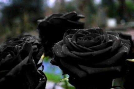schöne schwarze rosen bilder 3 - Schöne schwarze rosen bilder
