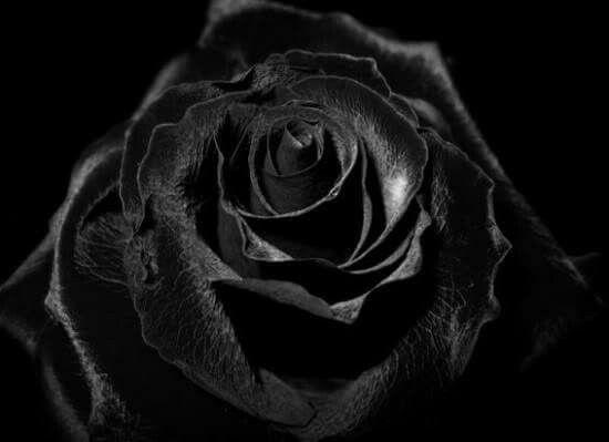 sch ne schwarze rosen bilder bilder und spr che f r. Black Bedroom Furniture Sets. Home Design Ideas