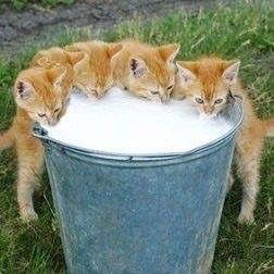 Abessinier Katzen - Abessinier Katzen
