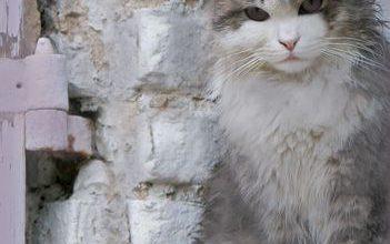 Alle Katzenrassen Mit Bildern 351x220 - Alle Katzenrassen Mit Bildern