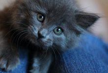 Angora Katze 220x150 - Angora Katze