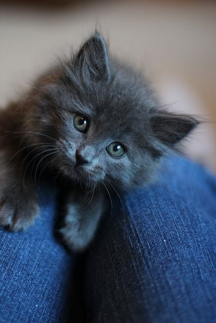 Angora Katze - Angora Katze