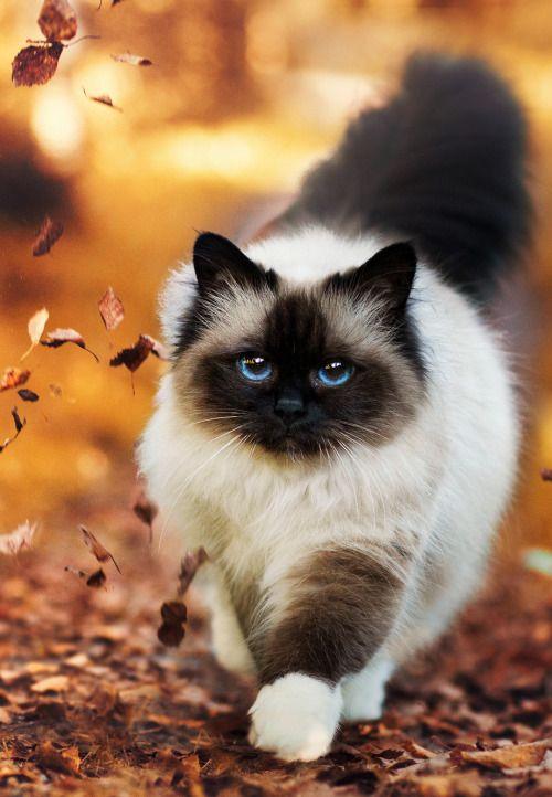 Bengal Katze Bilder - Bengal Katze Bilder