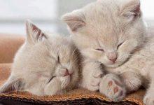 Bilder Katzenrassen 220x150 - Bilder Katzenrassen