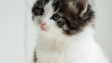 Bilder Siamkatzen 390x220 - Bilder Siamkatzen