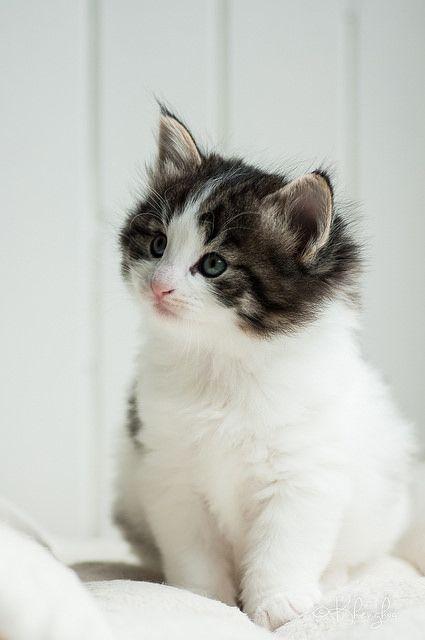 Bilder Siamkatzen - Bilder Siamkatzen