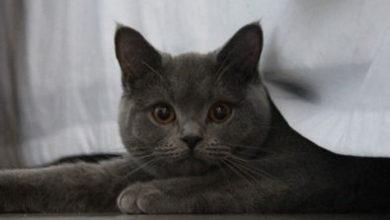 Bilder Von Siamkatzen 390x220 - Bilder Von Siamkatzen