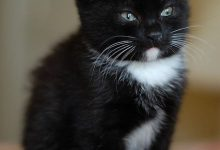 Birma Kitten 220x150 - Birma Kitten