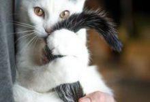 Bkh Katzen Kaufen 220x150 - Bkh Katzen Kaufen