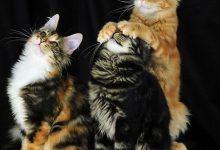 Britisch Kurzhaar Katze 220x150 - Britisch Kurzhaar Katze