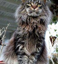 Getigerte Katzen Bilder 200x220 - Getigerte Katzen Bilder