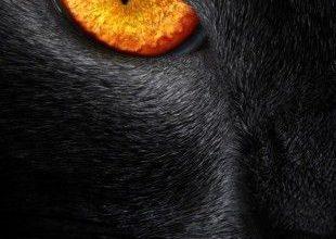 Große Katzenrassen 310x220 - Große Katzenrassen