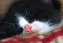 Kartäuser Katze Bilder 220x150 - Kartäuser Katze Bilder