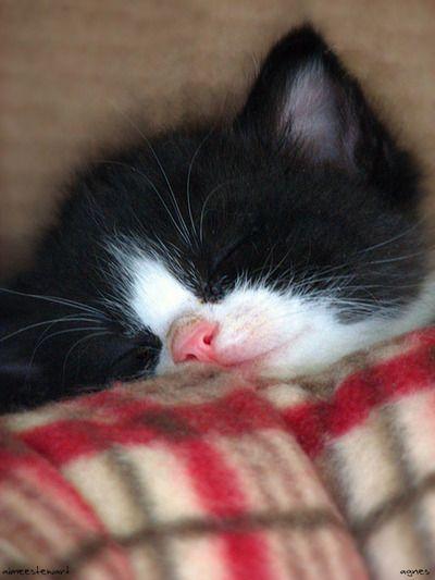 Kartäuser Katze Bilder - Kartäuser Katze Bilder