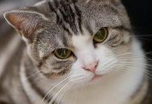 Katzen Kaufen Züchter 220x150 - Katzen Kaufen Züchter