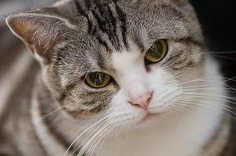 Katzen Kaufen Züchter 333x220 - Katzen Kaufen Züchter