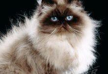 Katzen Rassen Wikipedia 220x150 - Katzen Rassen Wikipedia