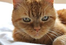 Katzenrassen Übersicht 220x150 - Katzenrassen Übersicht