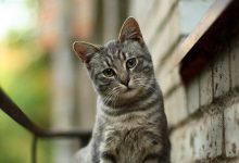 Katzenrassen Übersicht Mit Bildern 220x150 - Katzenrassen Übersicht Mit Bildern