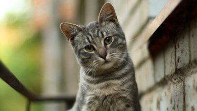 Katzenrassen Übersicht Mit Bildern 390x220 - Katzenrassen Übersicht Mit Bildern
