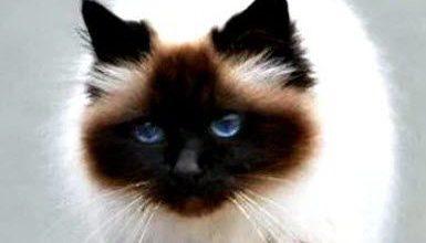 Katzenrassen Bilder Übersicht 385x220 - Katzenrassen Bilder Übersicht