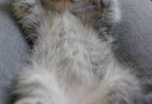 Katzenrassen Mit Bilder 220x150 - Katzenrassen Mit Bilder