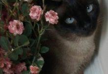 Kleine Katzenrassen 220x150 - Kleine Katzenrassen