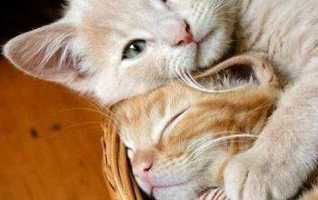 Kostenlos Katzen Bilder Herunterladen 350x220 - Kostenlos Katzen Bilder Herunterladen