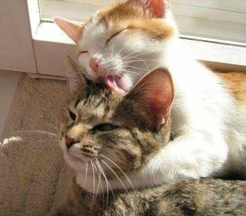 Perser Katze - Perser Katze