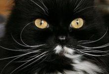 Savannah Katze 220x150 - Savannah Katze