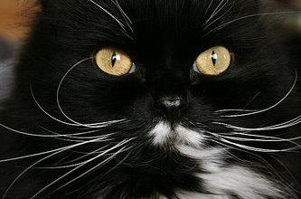 Savannah Katze 333x220 - Savannah Katze