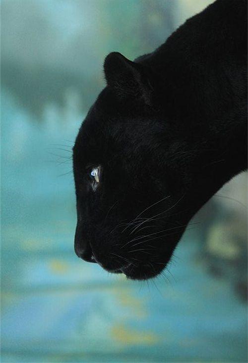 Schwarze Katzen Kaufen - Schwarze Katzen Kaufen