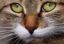 Siamkatze Katzen Kaufen 220x150 - Siamkatze Katzen Kaufen
