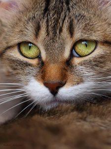 Siamkatze Katzen Kaufen 225x300 - Siamkatze Katzen Kaufen