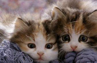 Suche Katzenbabys 337x220 - Suche Katzenbabys