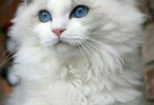 Verschiedene Katzenrassen 220x150 - Verschiedene Katzenrassen