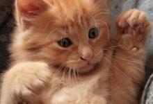 Welpen Katzen Kaufen 220x150 - Welpen Katzen Kaufen