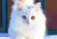 White Cute Cats Pics Bilder 220x150 - White Cute Cats Pics Bilder