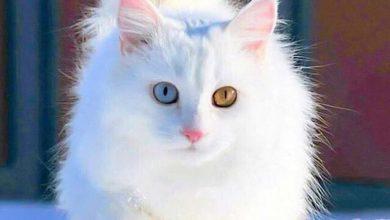 White Cute Cats Pics Bilder 390x220 - White Cute Cats Pics Bilder