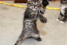 cat breeds with photos bilder 220x150 - cat breeds with photos bilder