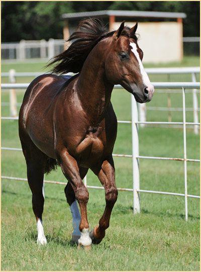Andalusier Pferd - Andalusier Pferd