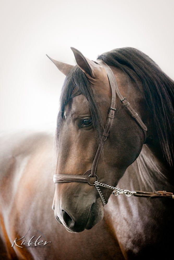 Andalusier Pferde Bilder Kostenlos Herunterladen - Andalusier Pferde Bilder Kostenlos Herunterladen