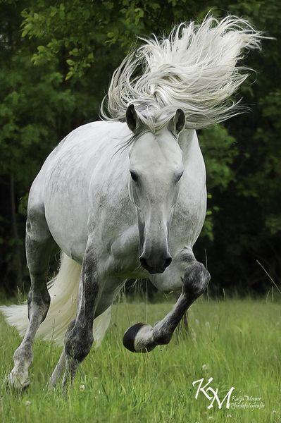 Andalusier Pferde Bilder - Andalusier Pferde Bilder