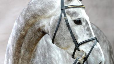 Araber Pferde Bilder Kostenlos Herunterladen 390x220 - Araber Pferde Bilder Kostenlos Herunterladen