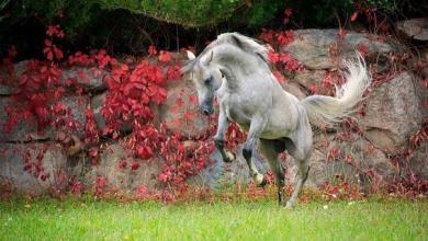 Bilder Haflinger Pferde Kostenlos Herunterladen 390x220 - Bilder Haflinger Pferde Kostenlos Herunterladen