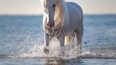 Bilder Tinker Pferd Kostenlos Herunterladen 390x220 - Bilder Tinker Pferd Kostenlos Herunterladen