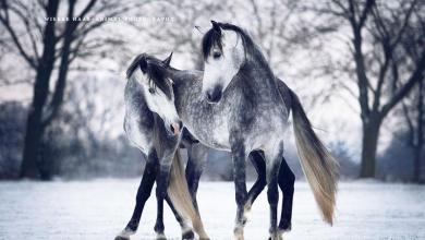 Bilder Von Pferden Und Ponys Für Facebook 390x220 - Bilder Von Pferden Und Ponys Für Facebook