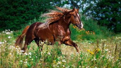 Bildschirmhintergrund Pferde 390x220 - Bildschirmhintergrund Pferde