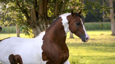 Camargue Pferde Bilder Für Facebook 390x220 - Camargue Pferde Bilder Für Facebook